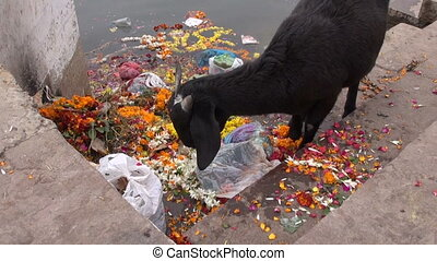 black goat on Ganges eating flowers - black goat on Ganges...