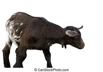 black goat over white background