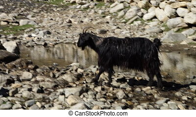 A hand held, panning, close up shot of a black goat stepping over numerous wet stones.