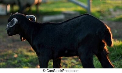 Black goatling standing on paddock at rural farm. Domestic...