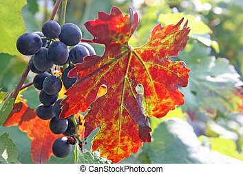 black grape cluster and a red vine leaf in autumn