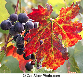 Black grape cluster behind a vine leaf in autumn