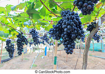 Black grapes in farm with blur background.