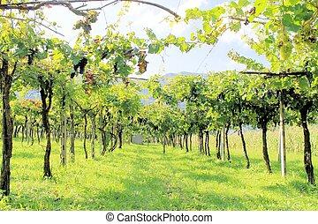 black grapes in the vineyard