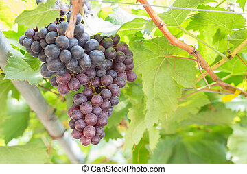 Black Grapes in the vineyard