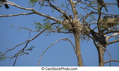 Black Great Cormorant nests in a tree. - Cormorant nests in...