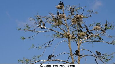 Black Great Cormorant nests in a tree. - Phalacrocorax...