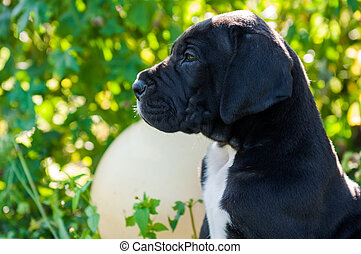 Black Great Dane dog puppy portrait