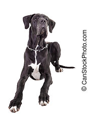 Black Great Dane on white - Black Great Dane isolated on...