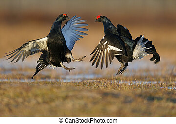Black grouse, Tetrao tetrix, two males fighting in marsh...