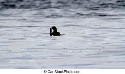 Black guillemot in the lake