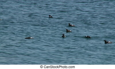 Black Guillemots In Sea Water - Handheld, medium wide shot...