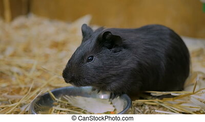 Black guinea pig eating in zoo