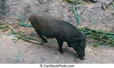 Black hairy boars eat grass on ground - Black hairy boars...