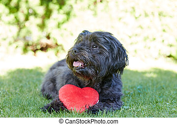 Black havanese dog with red heart for Valentines day