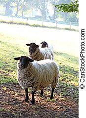 Black head sheep macro modern backgrounds high quality ...