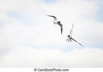 Black-headed gull (Chroicocephalus ridibundus) in flight on the attack