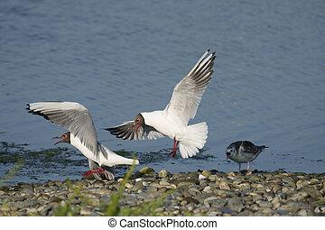 Black-headed gull, Chroicocephalus ridibundus, two birds fighting and chick, June 2021