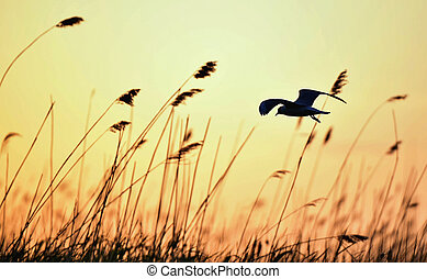 Black-headed Gull (Larus ridibundus) on sunset background -...