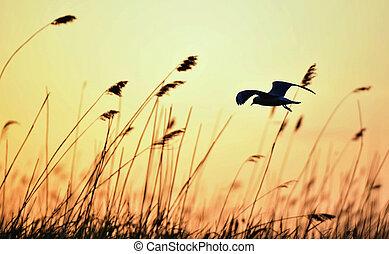Silhouette of in Flight at sunset. A flying black headed gull. Backlight. gulls flying against yellow sunset background . Black-headed Gull (Larus ridibundus)