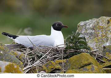 Black-headed gull, Larus ridibundus, single bird on nest, Northumberland, May 2014