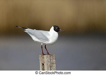 Black-headed gull, Larus ridibundus, single bird on post, Warwickshire, March 2013