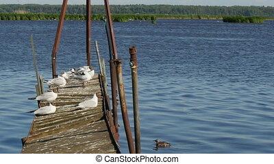 Black-headed gulls basking on the old walkways