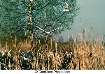 Black-headed gulls formed colony that has built nests