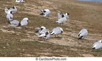 Black headed gulls preening feathers - Black headed gulls,...