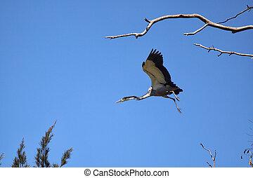 Black-headed heron (Ardea melanocephala)