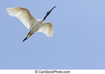 Black-headed ibis flying mid air against clear blue sky