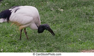 Black-headed ibis in natural habitat whilst looking for food on a lawn