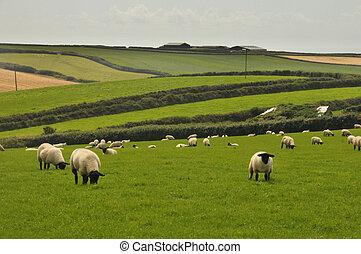 Black headed sheep and farm in background, Devon, UK