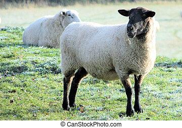 Black headed sheep