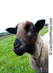 Black headed sheep head