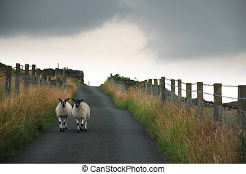 Black-headed sheep