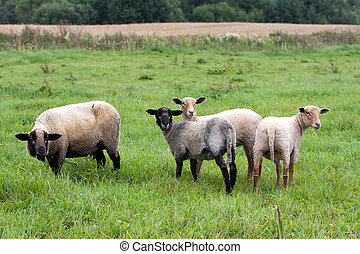 Black headed sheeps
