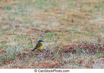 Black headed wagtail sits on a twig on a blurred background...
