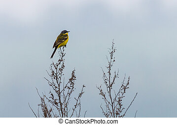 Black headed wagtail sits on a twig on a blurred background. Close up photo