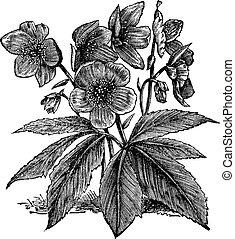 Black Hellebore or Christmas Rose or Helleborus niger,...