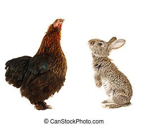 black hen and rabbit
