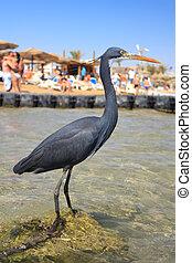 Black Heron on the beach in Naama Bay in Sharm El Sheikh, Egypt