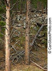 Black Hills Forest - Black Hills - Western South Dakota....