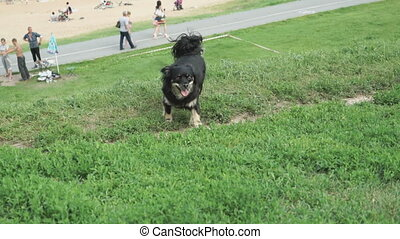 Black home dog runs on green grass. True dog