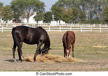 black horse and brown foal eat hay
