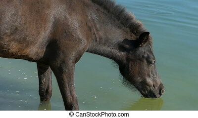 Black horse drinks lake water on a sunny day