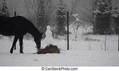 Black horse eating hay in winter