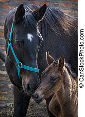 Black horse female with foal in a farm yard in spring
