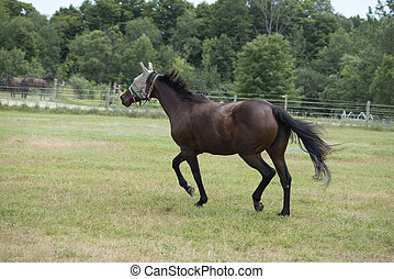 Black Horse Galloping in Field