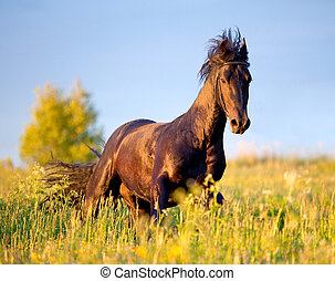 Black horse gallops in field.